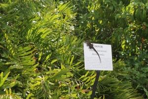 ManateePark_Lizard