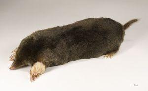 Mole_wikipedia