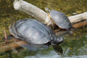 FH_Turtle