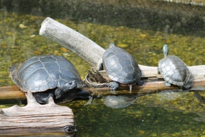 FH_Turtle2