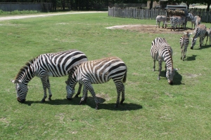 Zebras2