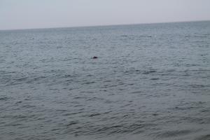 SealsSwimming