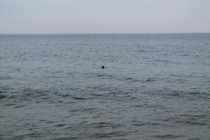 SealsSwimming2